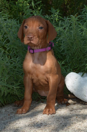 California Vizsla Puppies for Sale