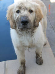 golden retriever muddy
