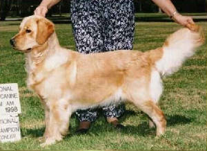 Trained golden retriever female