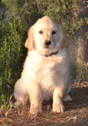 Trained Golden Retriever puppies