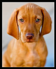 trained vizsla puppy